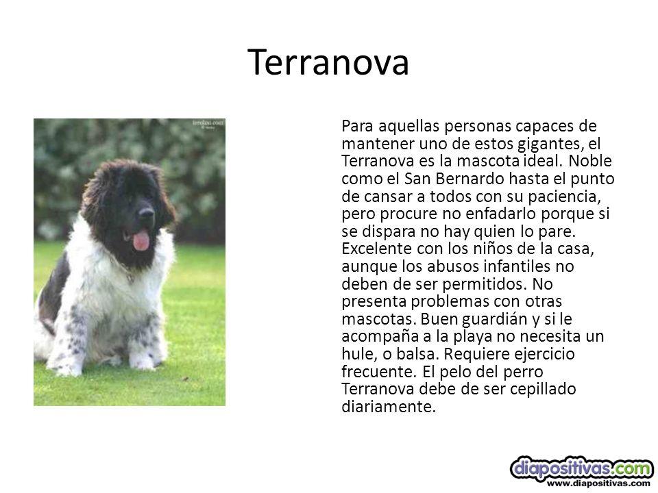 Terranova Para aquellas personas capaces de mantener uno de estos gigantes, el Terranova es la mascota ideal.