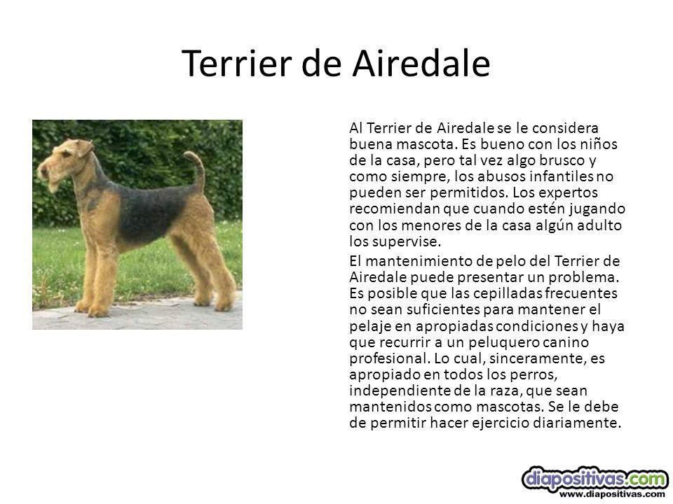 Terrier de Airedale Al Terrier de Airedale se le considera buena mascota.