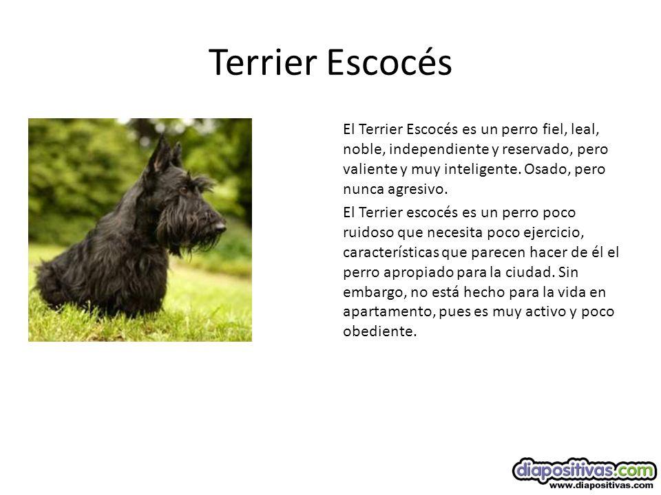 Terrier Escocés El Terrier Escocés es un perro fiel, leal, noble, independiente y reservado, pero valiente y muy inteligente.