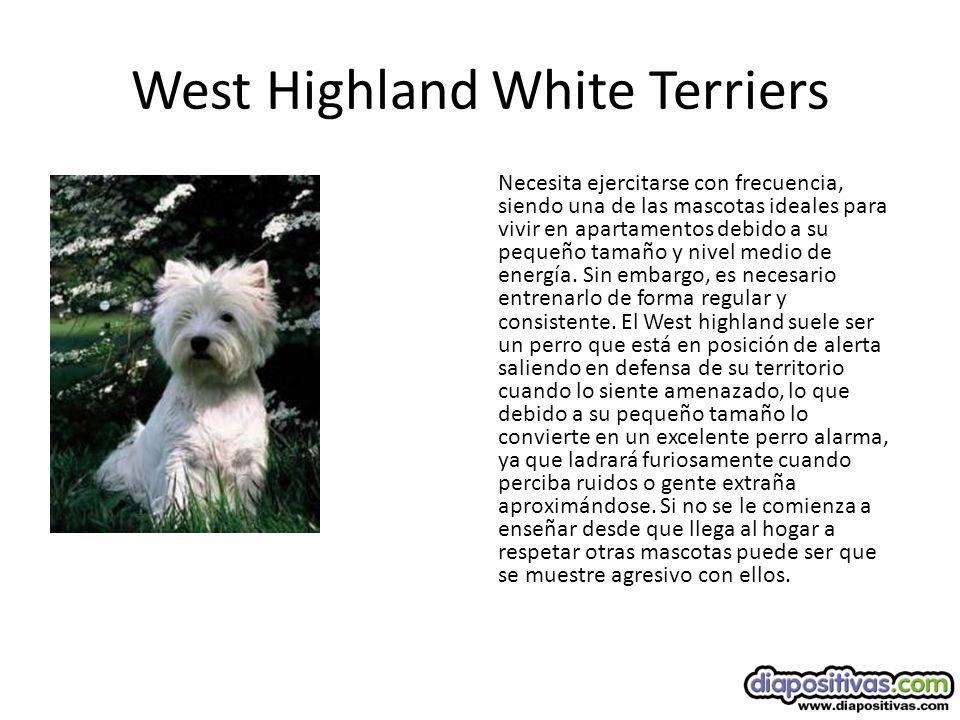 West Highland White Terriers Necesita ejercitarse con frecuencia, siendo una de las mascotas ideales para vivir en apartamentos debido a su pequeño tamaño y nivel medio de energía.
