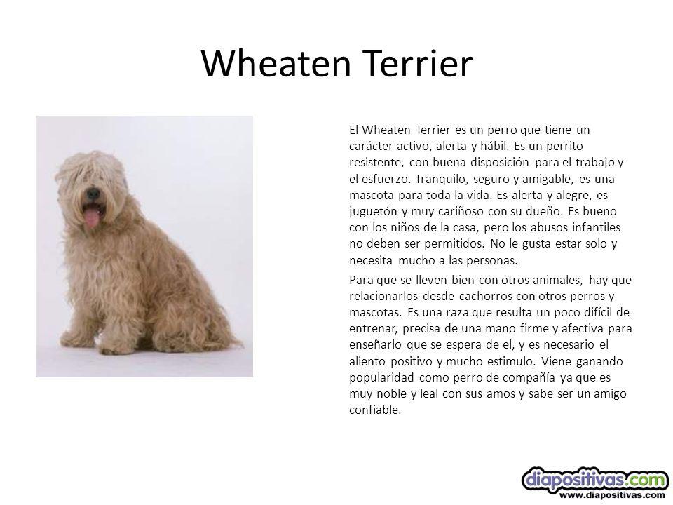 Wheaten Terrier El Wheaten Terrier es un perro que tiene un carácter activo, alerta y hábil.