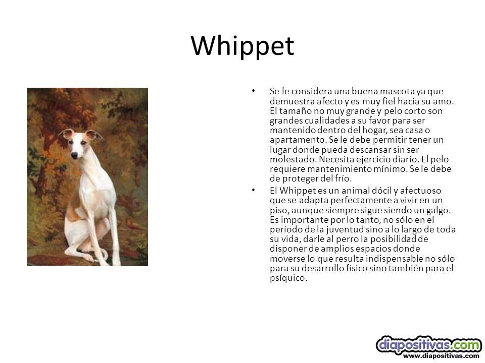 Whippet Se le considera una buena mascota ya que demuestra afecto y es muy fiel hacia su amo.