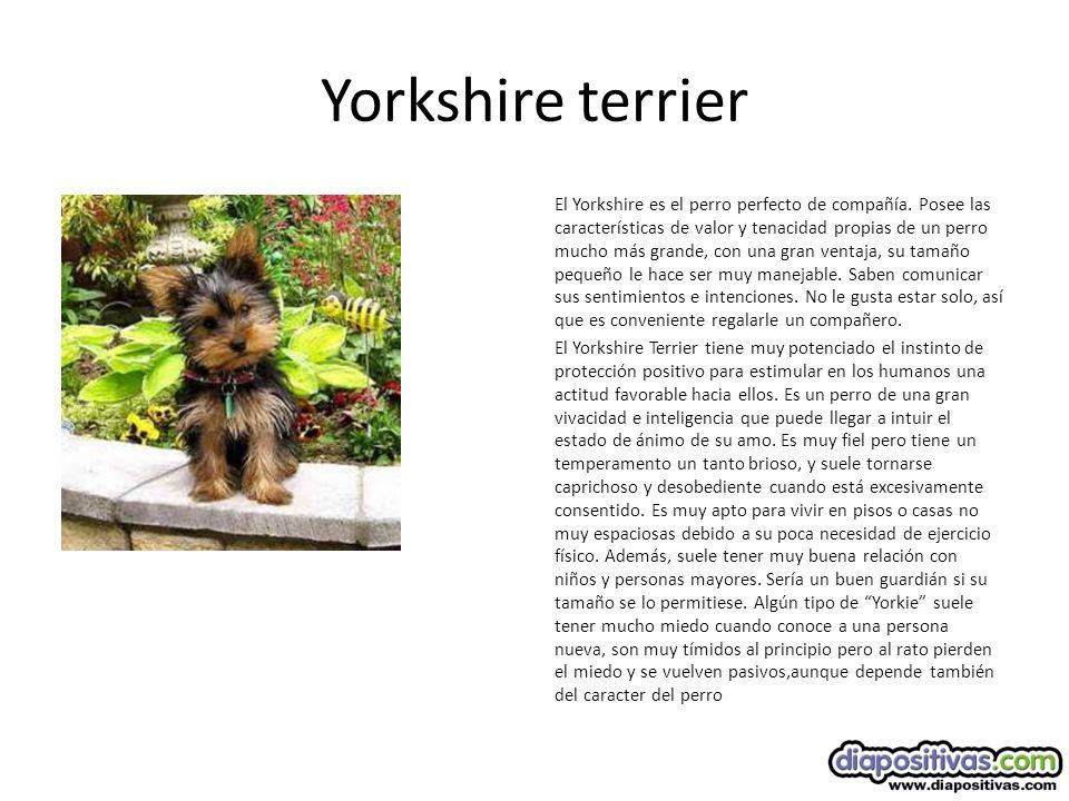 Yorkshire terrier El Yorkshire es el perro perfecto de compañía.