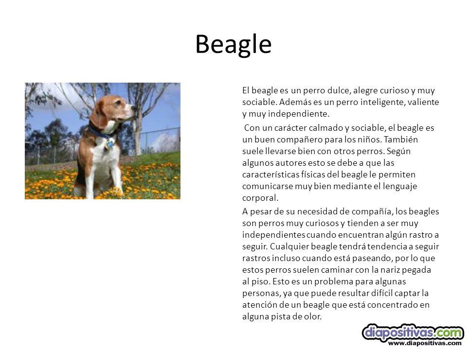 Beagle El beagle es un perro dulce, alegre curioso y muy sociable.