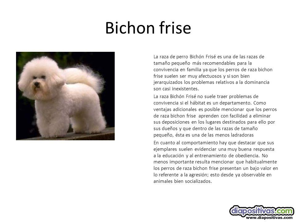 Bichon frise La raza de perro Bichón Frisé es una de las razas de tamaño pequeño más recomendables para la convivencia en familia ya que los perros de raza bichon frise suelen ser muy afectuosos y si son bien jerarquizados los problemas relativos a la dominancia son casi inexistentes.