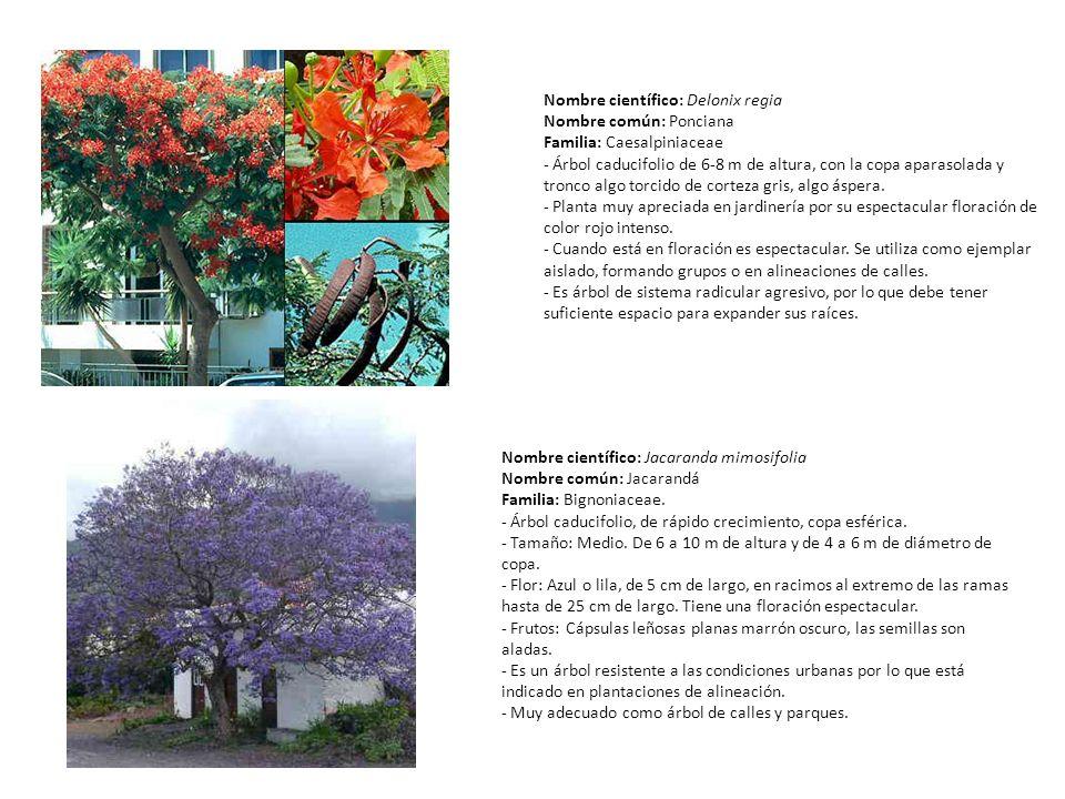 Nombre científico: Delonix regia Nombre común: Ponciana Familia: Caesalpiniaceae - Árbol caducifolio de 6-8 m de altura, con la copa aparasolada y tronco algo torcido de corteza gris, algo áspera.
