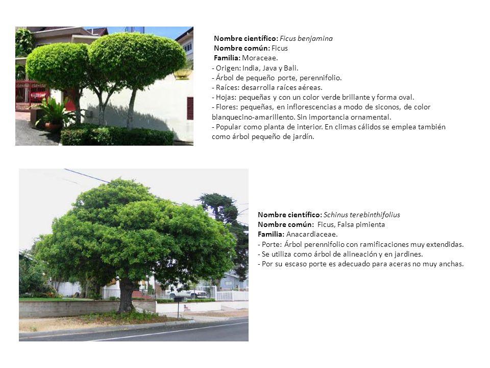Nombre científico: Ficus benjamina Nombre común: Ficus Familia: Moraceae. - Origen: India, Java y Bali. - Árbol de pequeño porte, perennifolio. - Raíc