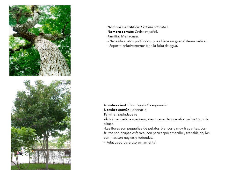 Nombre científifico: Cedrela odorata L. Nombre común: Cedro español. Familia: Meliaceae. - Necesita suelos profundos, pues tiene un gran sistema radic