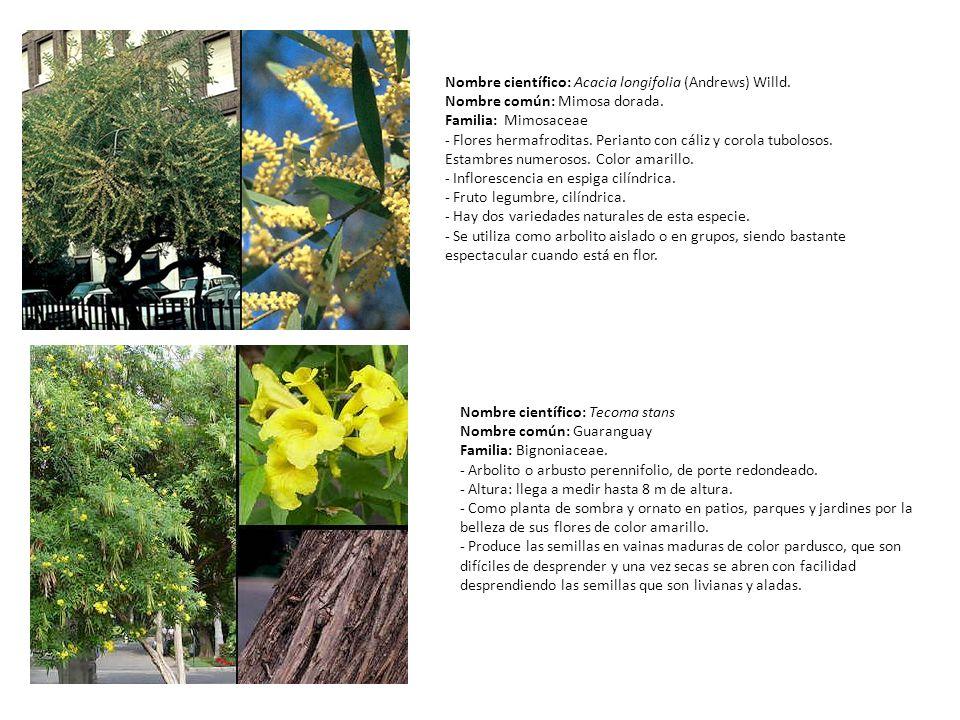 Nombre científico: Acacia longifolia (Andrews) Willd. Nombre común: Mimosa dorada. Familia: Mimosaceae - Flores hermafroditas. Perianto con cáliz y co