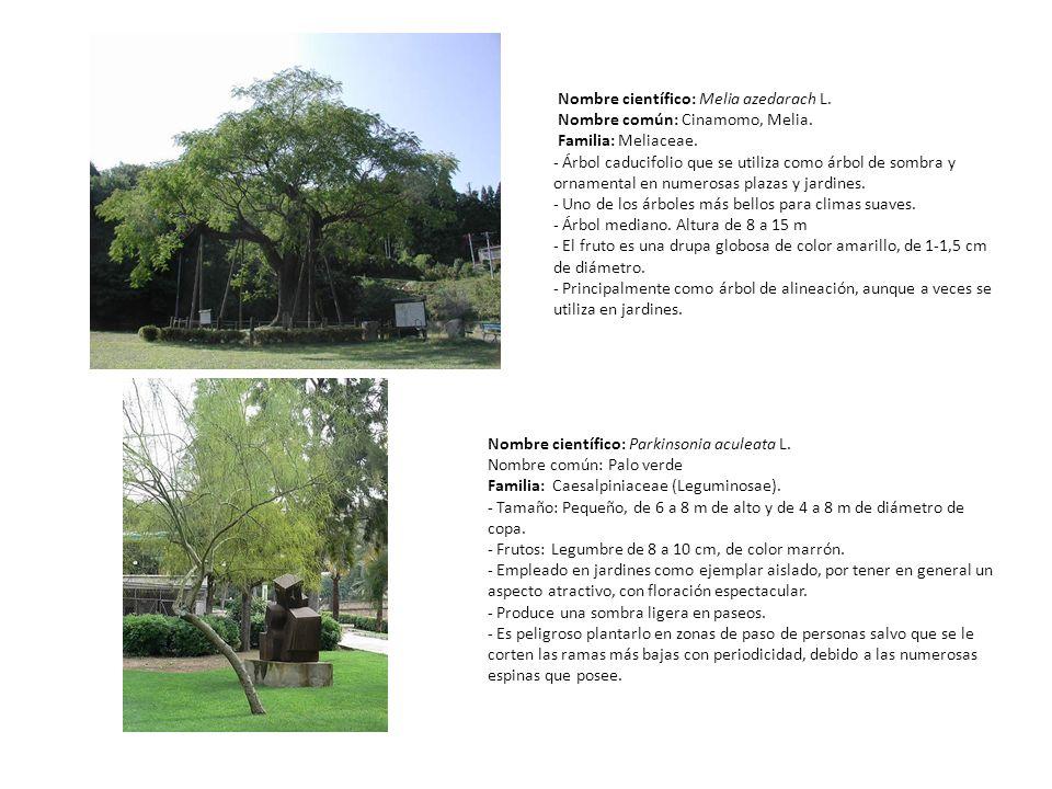 Nombre científico: Melia azedarach L. Nombre común: Cinamomo, Melia. Familia: Meliaceae. - Árbol caducifolio que se utiliza como árbol de sombra y orn
