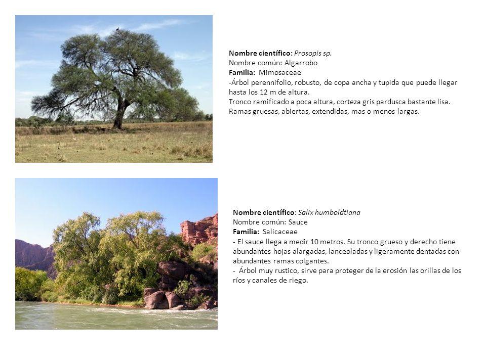 Nombre científico: Prosopis sp. Nombre común: Algarrobo Familia: Mimosaceae -Árbol perennifolio, robusto, de copa ancha y tupida que puede llegar hast