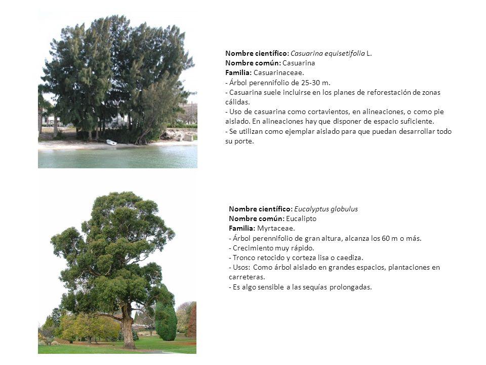 Nombre científico: Casuarina equisetifolia L. Nombre común: Casuarina Familia: Casuarinaceae. - Árbol perennifolio de 25-30 m. - Casuarina suele inclu