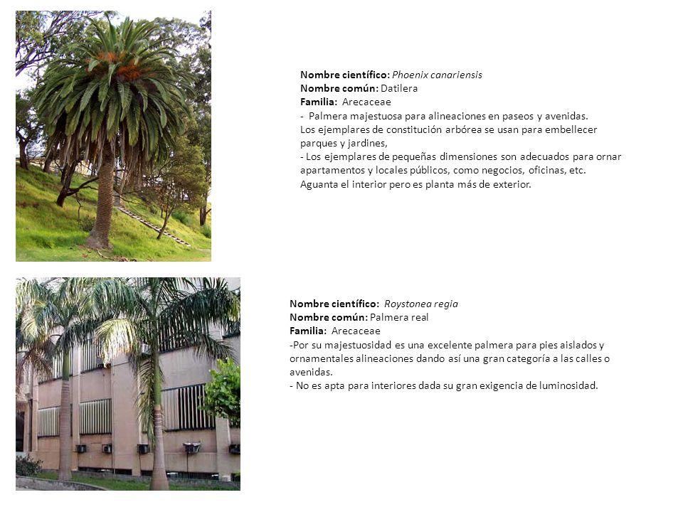 Nombre científico: Phoenix canariensis Nombre común: Datilera Familia: Arecaceae - Palmera majestuosa para alineaciones en paseos y avenidas. Los ejem