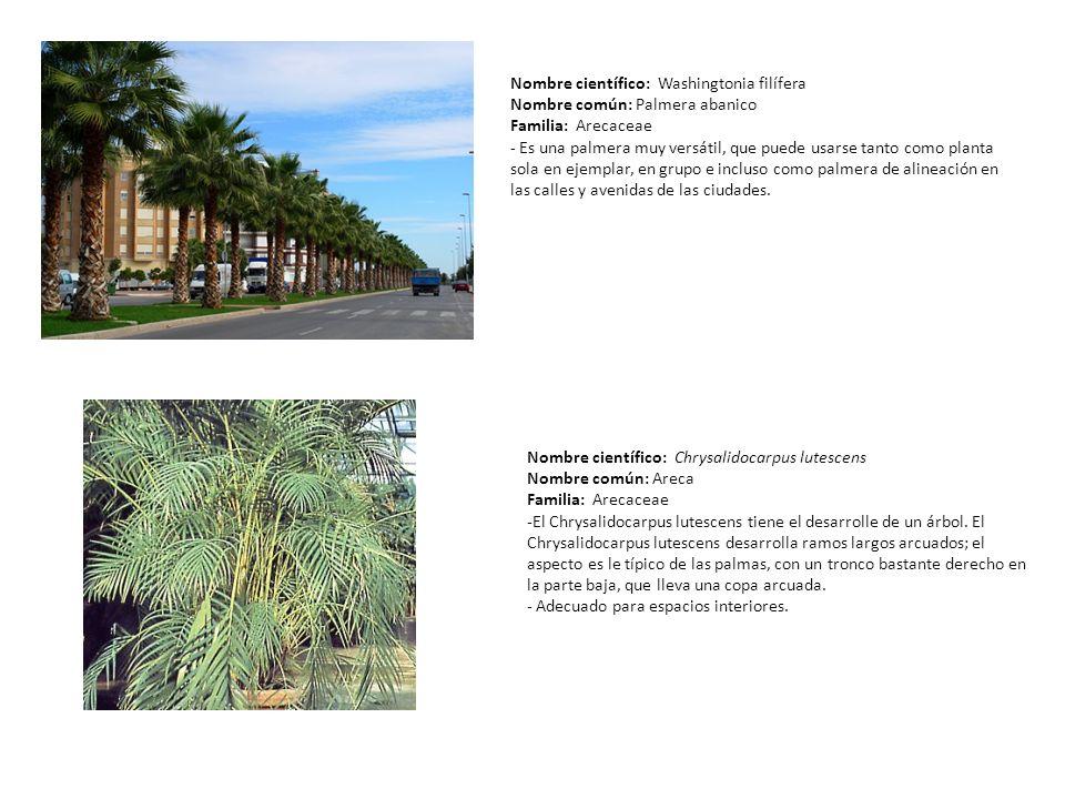 Nombre científico: Washingtonia filífera Nombre común: Palmera abanico Familia: Arecaceae - Es una palmera muy versátil, que puede usarse tanto como p