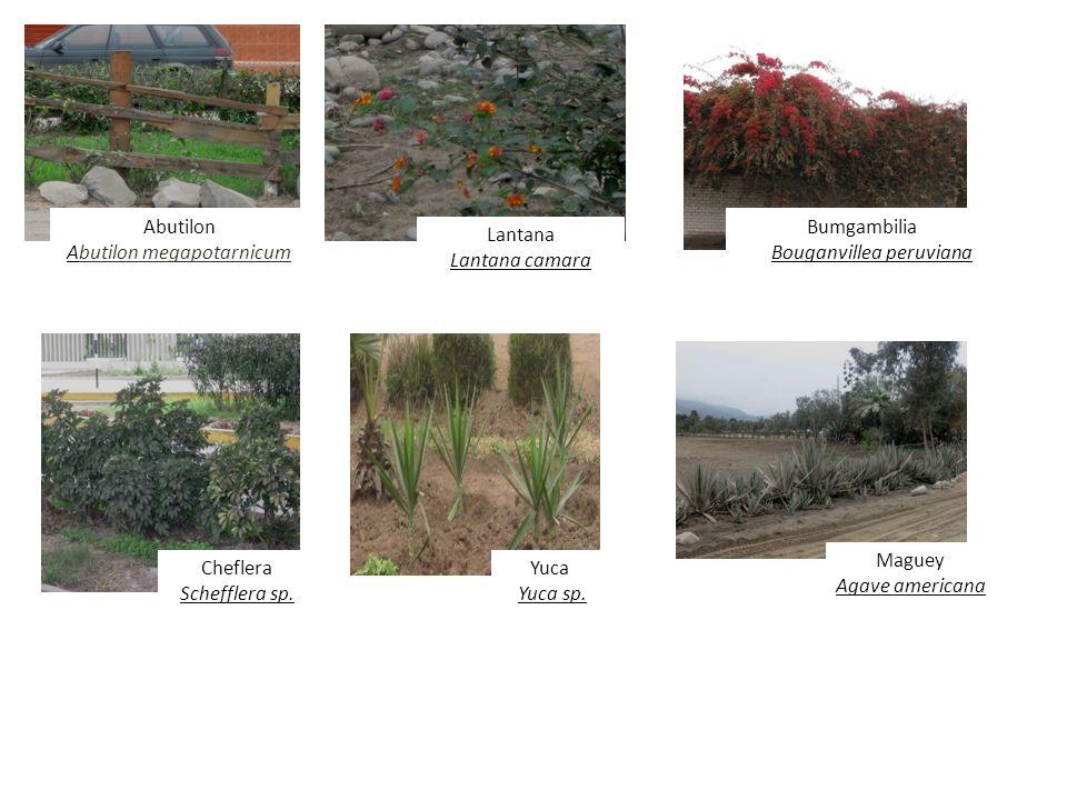 Abutilon Abutilon megapotarnicum Lantana Lantana camara Bumgambilia Bouganvillea peruviana Cheflera Schefflera sp. Yuca Yuca sp. Maguey Agave american