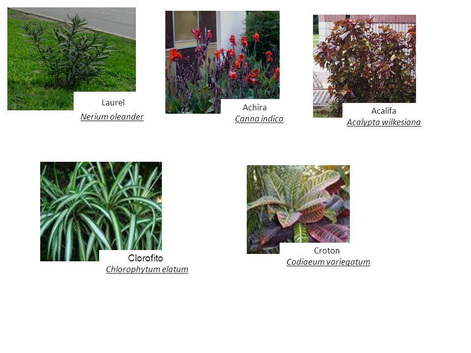 Laurel Nerium oleander Achira Canna indica Acalifa Acalypta wilkesiana Clorofito Chlorophytum elatum Croton Codiaeum variegatum