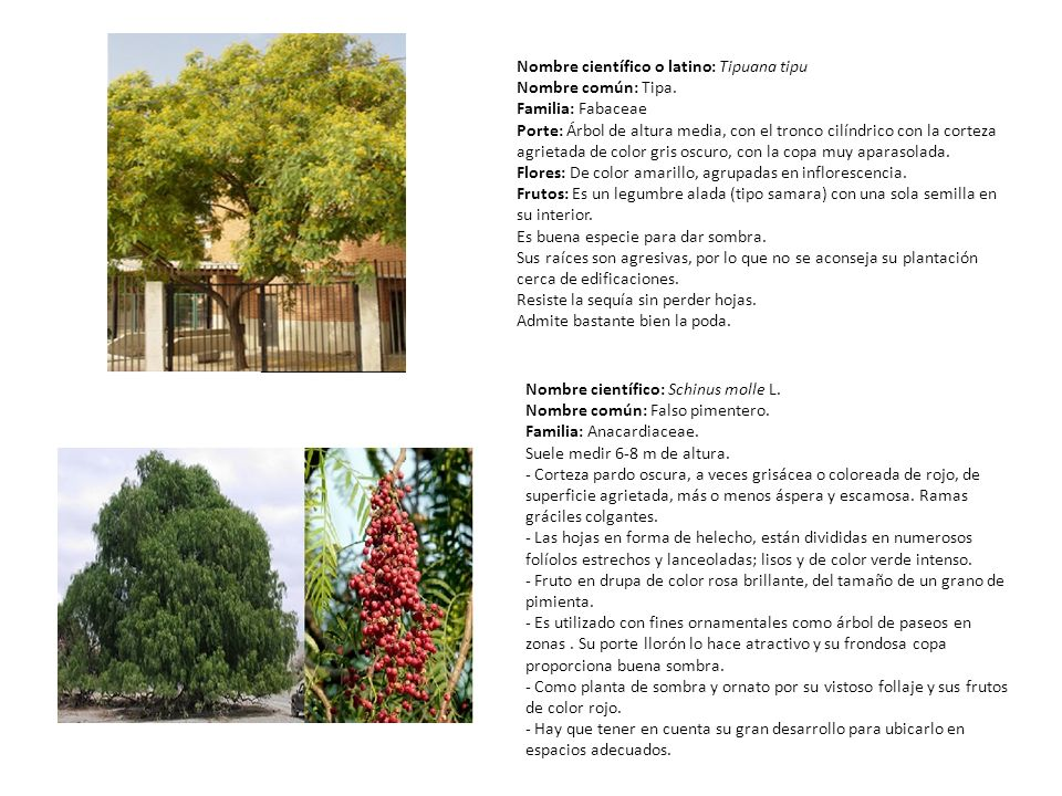 Nombre científico o latino: Tipuana tipu Nombre común: Tipa. Familia: Fabaceae Porte: Árbol de altura media, con el tronco cilíndrico con la corteza a