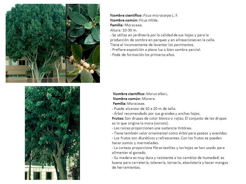 Nombre científico: Ficus microcarpa L. F. Nombre común: Ficus nítida. Familia: Moraceae. Altura: 10-30 m. - Se utiliza en jardinería por la calidad de