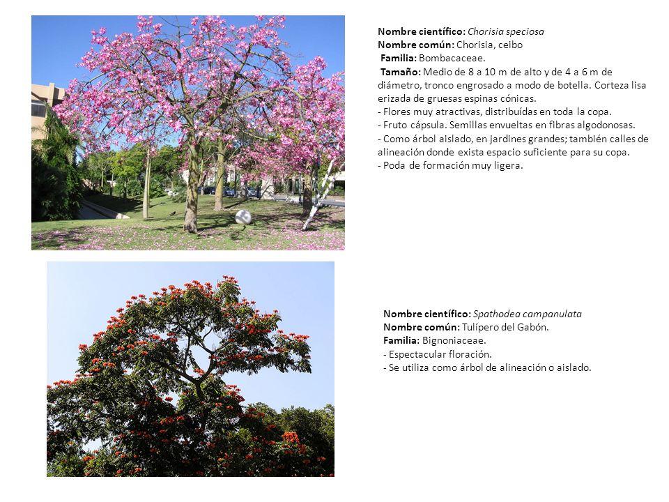 Nombre científico: Chorisia speciosa Nombre común: Chorisia, ceibo Familia: Bombacaceae. Tamaño: Medio de 8 a 10 m de alto y de 4 a 6 m de diámetro, t