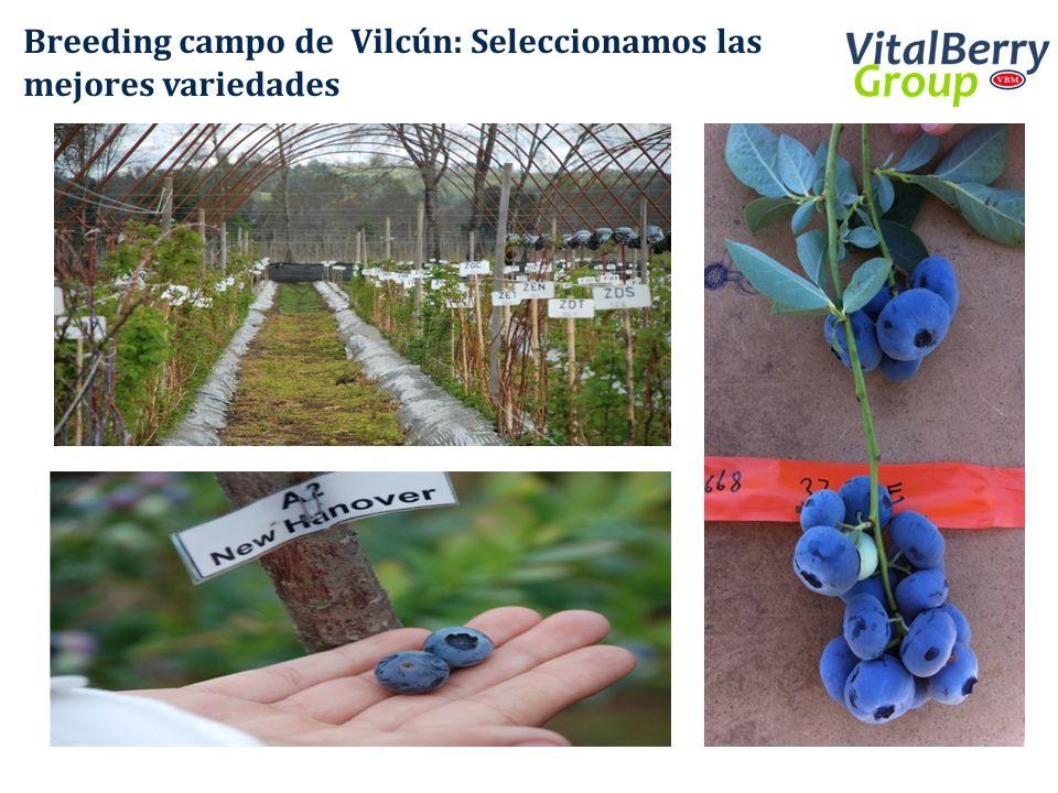 Breeding campo de Vilcún: Seleccionamos las mejores variedades
