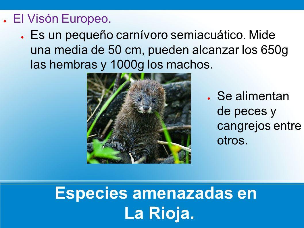 Especies amenazadas en La Rioja. Es un pequeño carnívoro semiacuático. Mide una media de 50 cm, pueden alcanzar los 650g las hembras y 1000g los macho