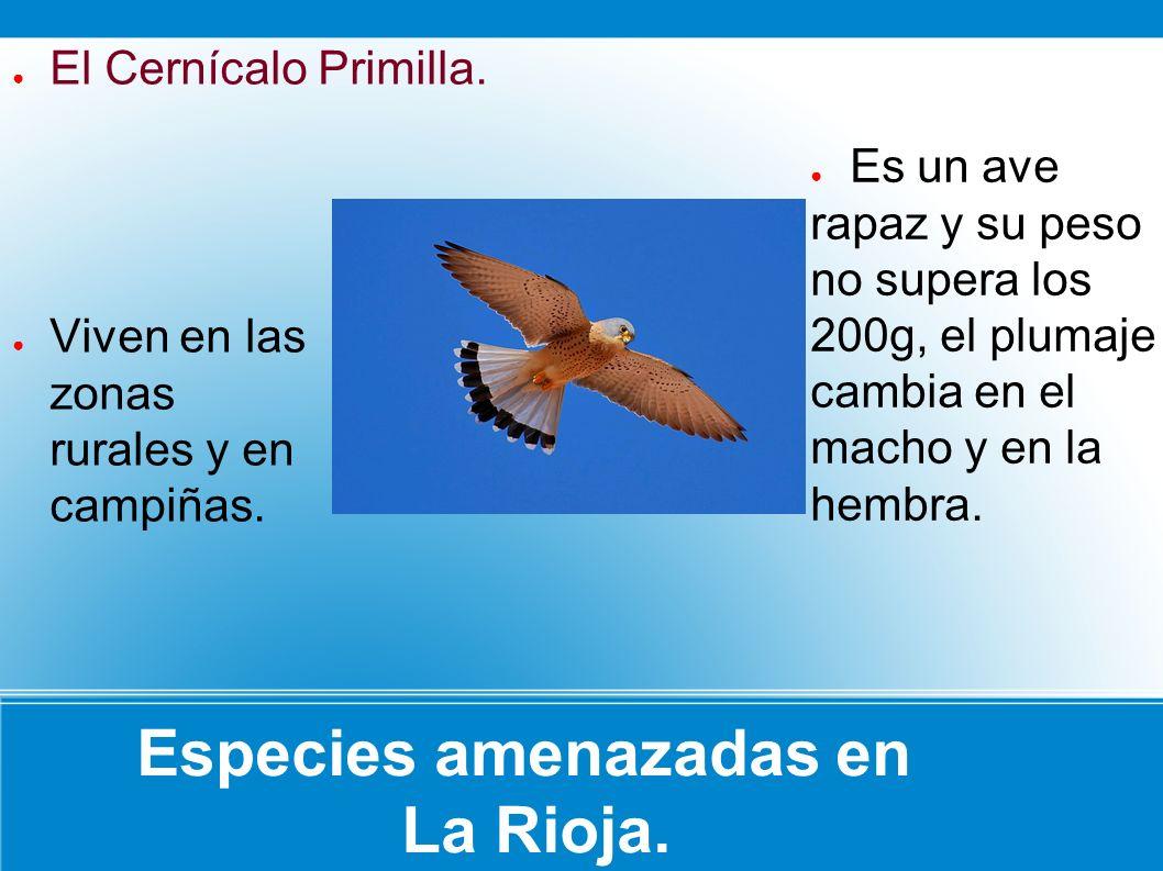Especies amenazadas en La Rioja. Es un ave rapaz y su peso no supera los 200g, el plumaje cambia en el macho y en la hembra. Viven en las zonas rurale