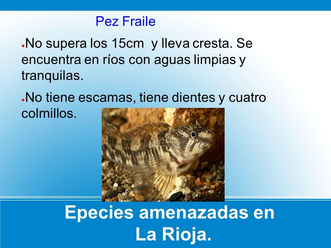 Epecies amenazadas en La Rioja. Pez Fraile No supera los 15cm y lleva cresta. Se encuentra en ríos con aguas limpias y tranquilas. No tiene escamas, t