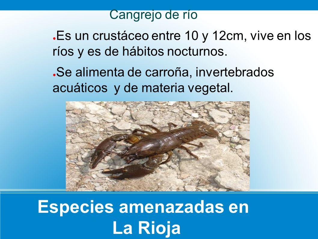 Especies amenazadas en La Rioja Cangrejo de río Es un crustáceo entre 10 y 12cm, vive en los ríos y es de hábitos nocturnos. Se alimenta de carroña, i