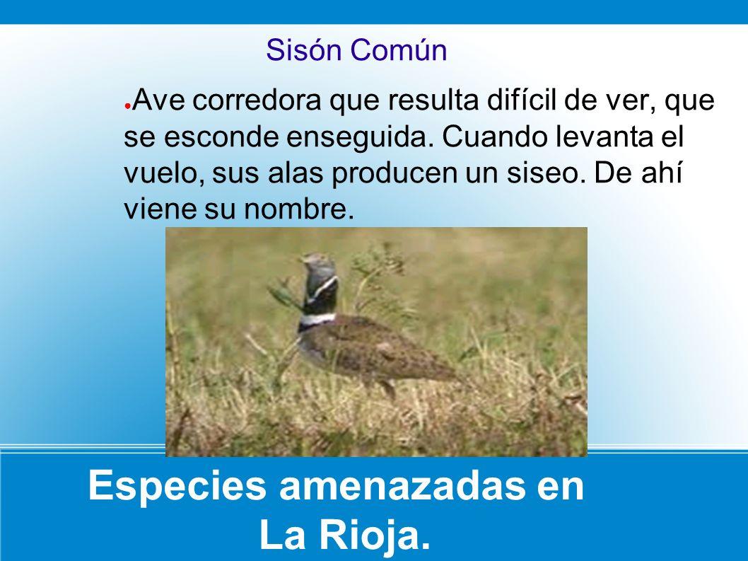 Especies amenazadas en La Rioja. Sisón Común Ave corredora que resulta difícil de ver, que se esconde enseguida. Cuando levanta el vuelo, sus alas pro