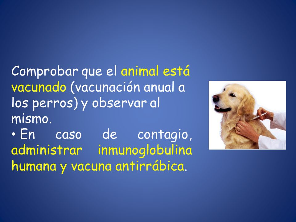 Comprobar que el animal está vacunado (vacunación anual a los perros) y observar al mismo. En caso de contagio, administrar inmunoglobulina humana y v