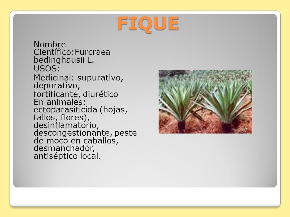 FIQUE Nombre Científico:Furcraea bedinghausii L. USOS: Medicinal: supurativo, depurativo, fortificante, diurético En animales: ectoparasiticida (hojas