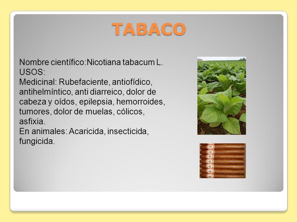 TABACO TABACO Nombre científico:Nicotiana tabacum L. USOS: Medicinal: Rubefaciente, antiofídico, antihelmíntico, anti diarreico, dolor de cabeza y oíd