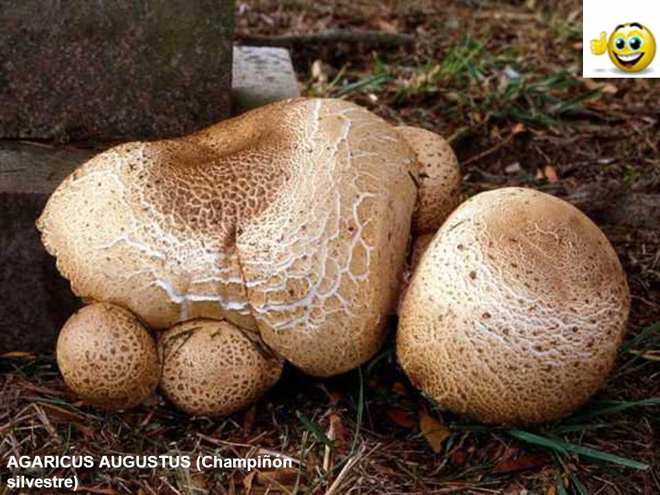 AGARICUS AUGUSTUS (Champiñón silvestre)