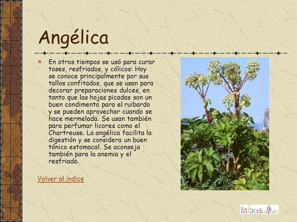 Angélica En otros tiempos se usó para curar toses, resfriados, y cólicos: Hoy se conoce principalmente por sus tallos confitados, que se usan para dec