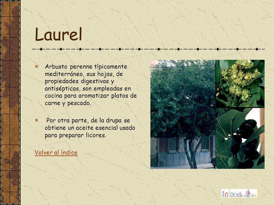 Laurel Arbusto perenne típicamente mediterráneo, sus hojas, de propiedades digestivas y antisépticas, son empleadas en cocina para aromatizar platos d