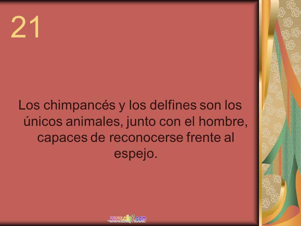 21 Los chimpancés y los delfines son los únicos animales, junto con el hombre, capaces de reconocerse frente al espejo.