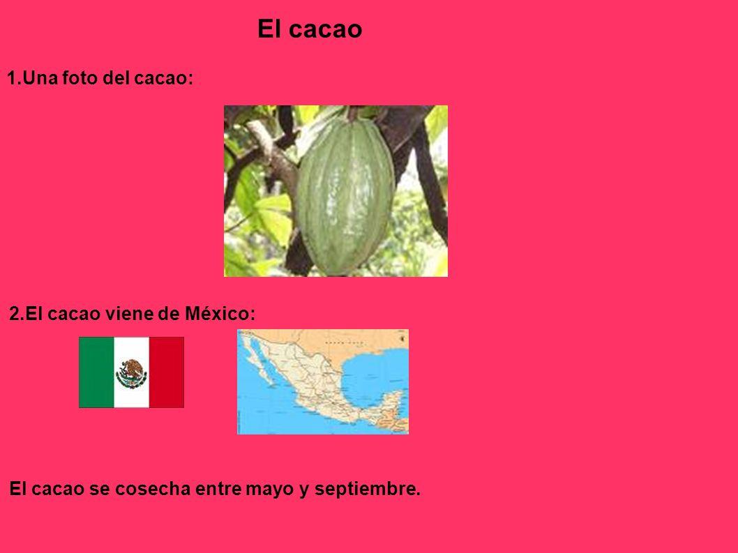 1.Una foto del cacao: El cacao 2.El cacao viene de México: El cacao se cosecha entre mayo y septiembre.