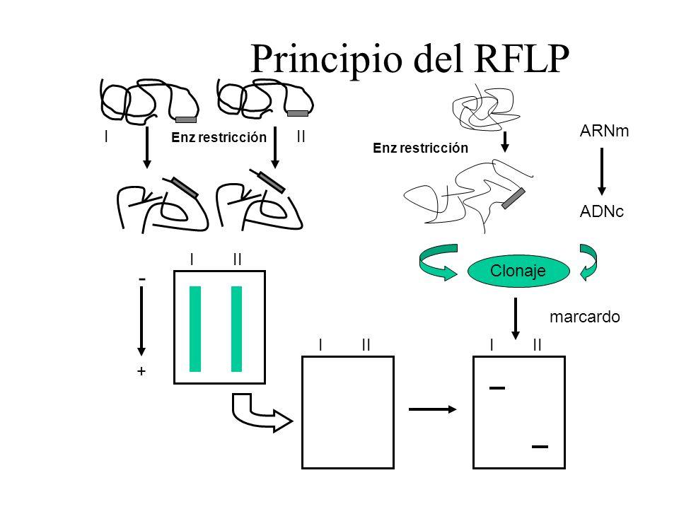 Principio del RFLP Enz restricción III I - + I I ARNm ADNc marcardo Clonaje Enz restricción