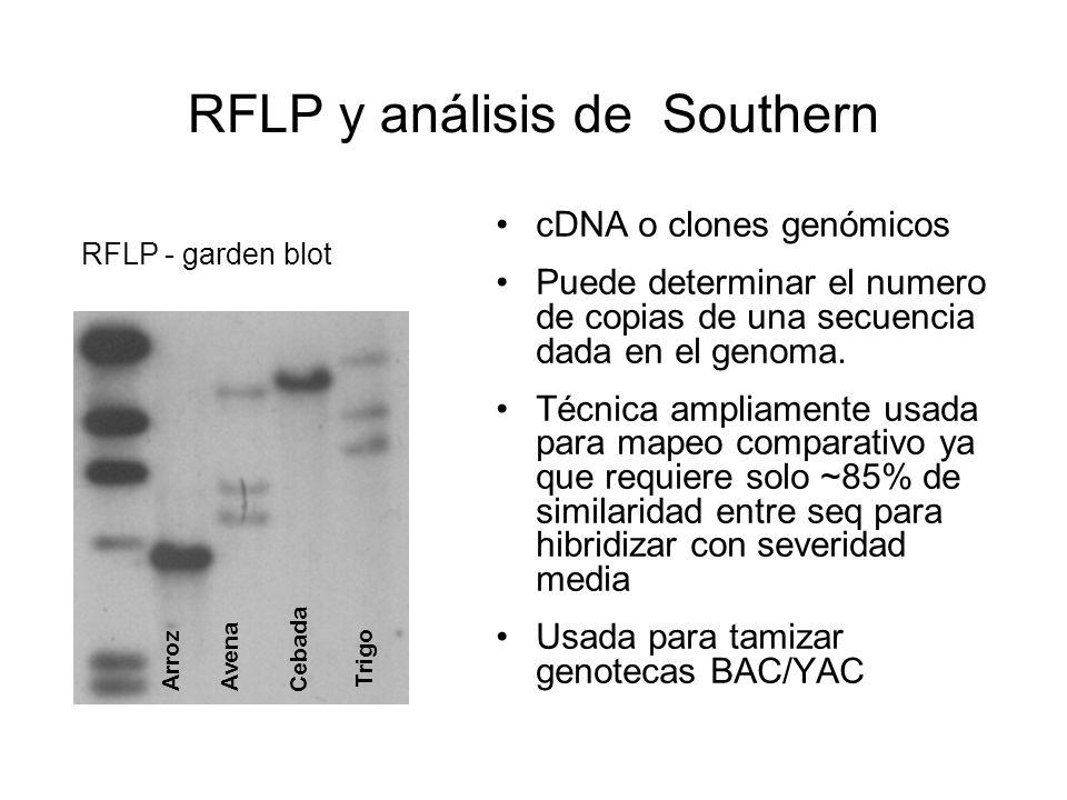 RFLP y análisis de Southern cDNA o clones genómicos Puede determinar el numero de copias de una secuencia dada en el genoma. Técnica ampliamente usada