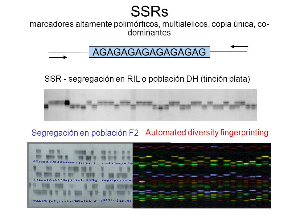 SSRs marcadores altamente polimórficos, multialelicos, copia única, co- dominantes SSR - segregación en RIL o población DH (tinción plata) Segregación