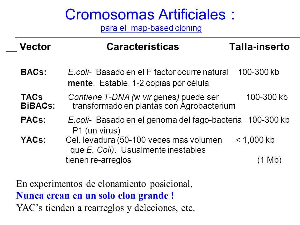 Cromosomas Artificiales : para el map-based cloning Vector Características Talla-inserto BACs: E.coli- Basado en el F factor ocurre natural 100-300 kb