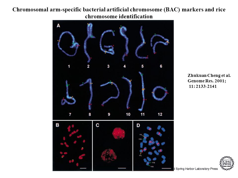 Zhukuan Cheng et al. Genome Res. 2001; 11: 2133-2141 Chromosomal arm-specific bacterial artificial chromosome (BAC) markers and rice chromosome identi