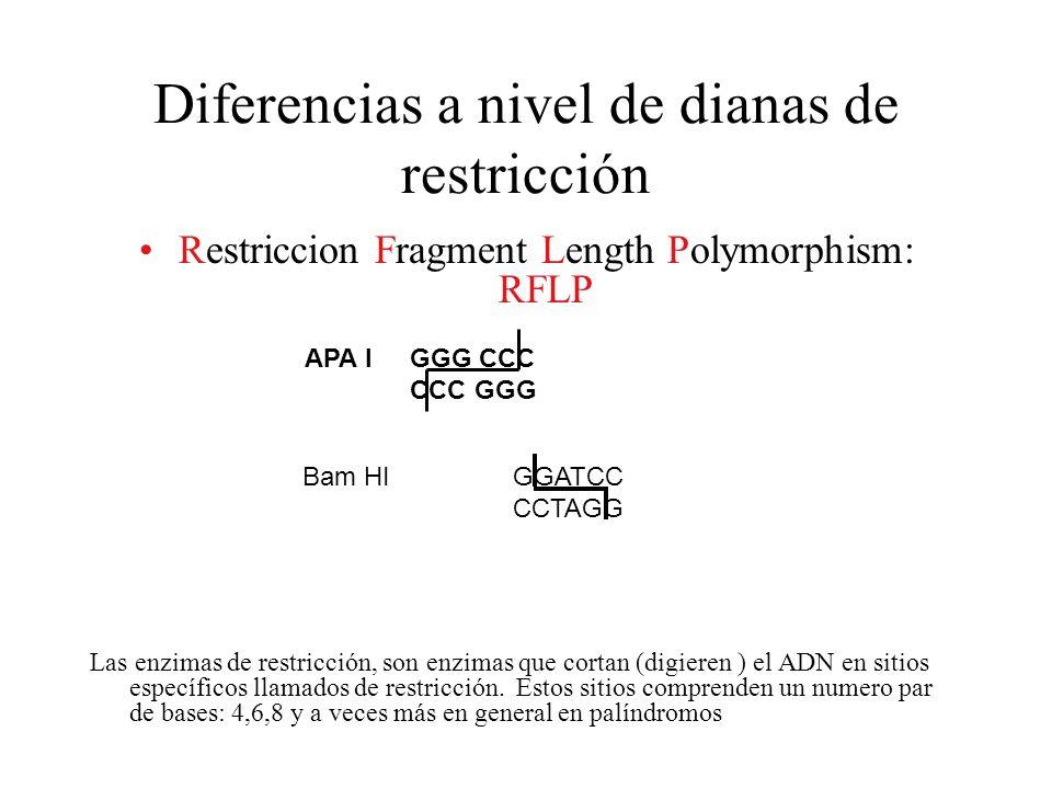 Diferencias a nivel de dianas de restricción Restriccion Fragment Length Polymorphism: RFLP Las enzimas de restricción, son enzimas que cortan (digier