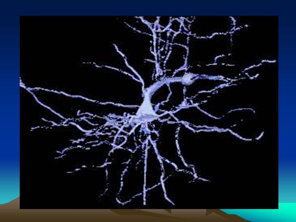 Toda la actividad cerebral se realiza mediante conexiones electro-químicas denominadas sinápticas.