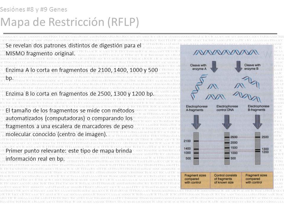 Sesiónes #8 y #9 Genes Mapa de Restricción (RFLP) Segunda digestión Para ello extraemos un fragmento del primer gel de tal modo en que tan solo tengamos un fragmento de los generados por la enzima A (digamos, el fragmento de 2100 bp).