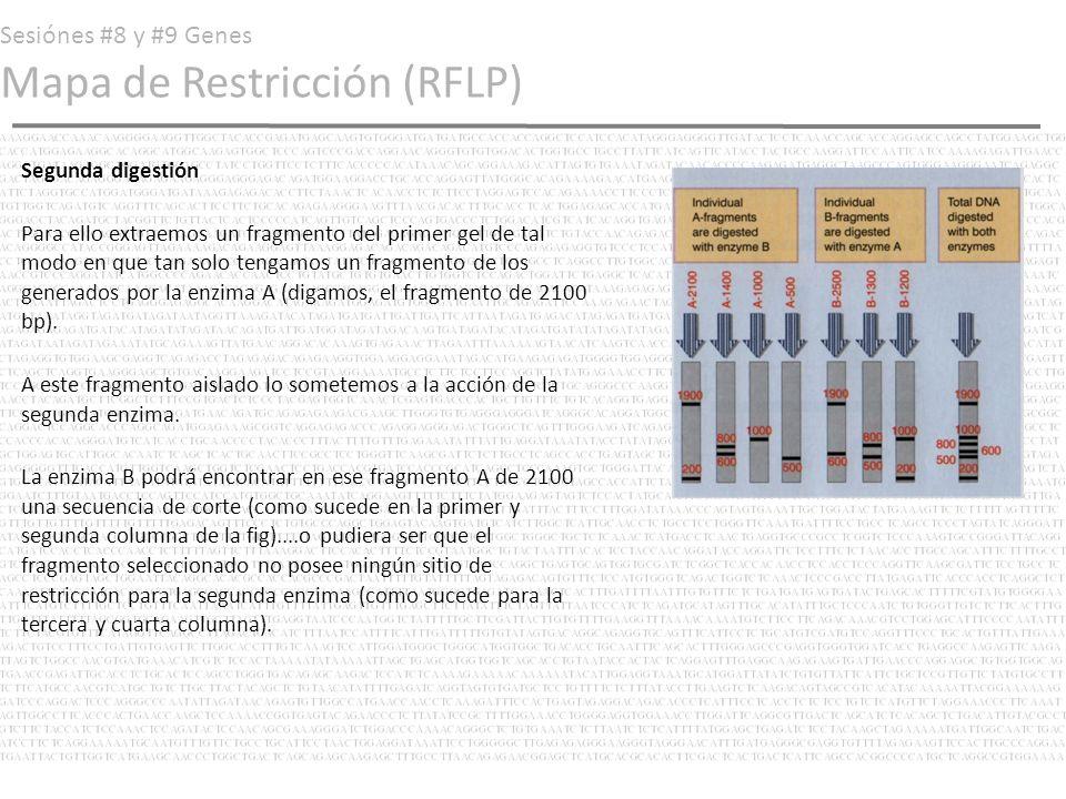 Sesiónes #8 y #9 Genes Mapa de Restricción (RFLP) Segunda digestión Para ello extraemos un fragmento del primer gel de tal modo en que tan solo tengam