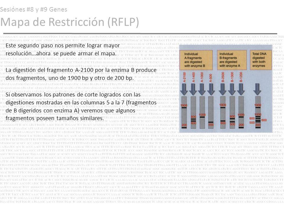 Sesiónes #8 y #9 Genes Mapa de Restricción (RFLP) Así tenemos pues que: Fragmento original = 5000 bp Fragmento A-2100 = 2100 bp Fragmento A-2100 digerido con B= B-1900 y B- 200 Fragmentos A-1900 mostrado en quinta columna también formaba parte de B-2500...