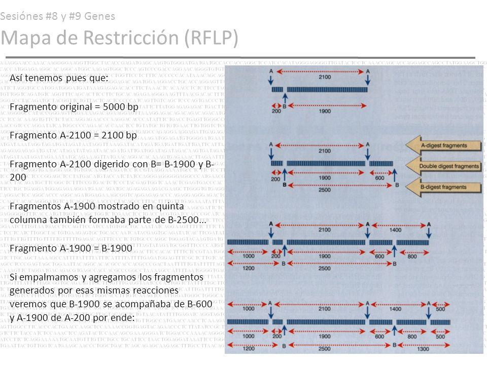 Sesiónes #8 y #9 Genes Mapa de Restricción (RFLP) Así tenemos pues que: Fragmento original = 5000 bp Fragmento A-2100 = 2100 bp Fragmento A-2100 diger