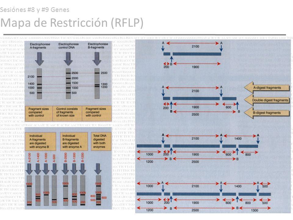 Sesiónes #8 y #9 Genes Mapa de Restricción con marcaje terminal Hoy en día podemos amplificar nuestra secuencia original (la de 5000 bp) con oligonucleótidos marcados (con radioisótopos o fluorocromos) de tal modo en que se pueda facilitar la identificación de al menos las porciones terminales (5 y 3 ) del fragmento original una vez digerido.