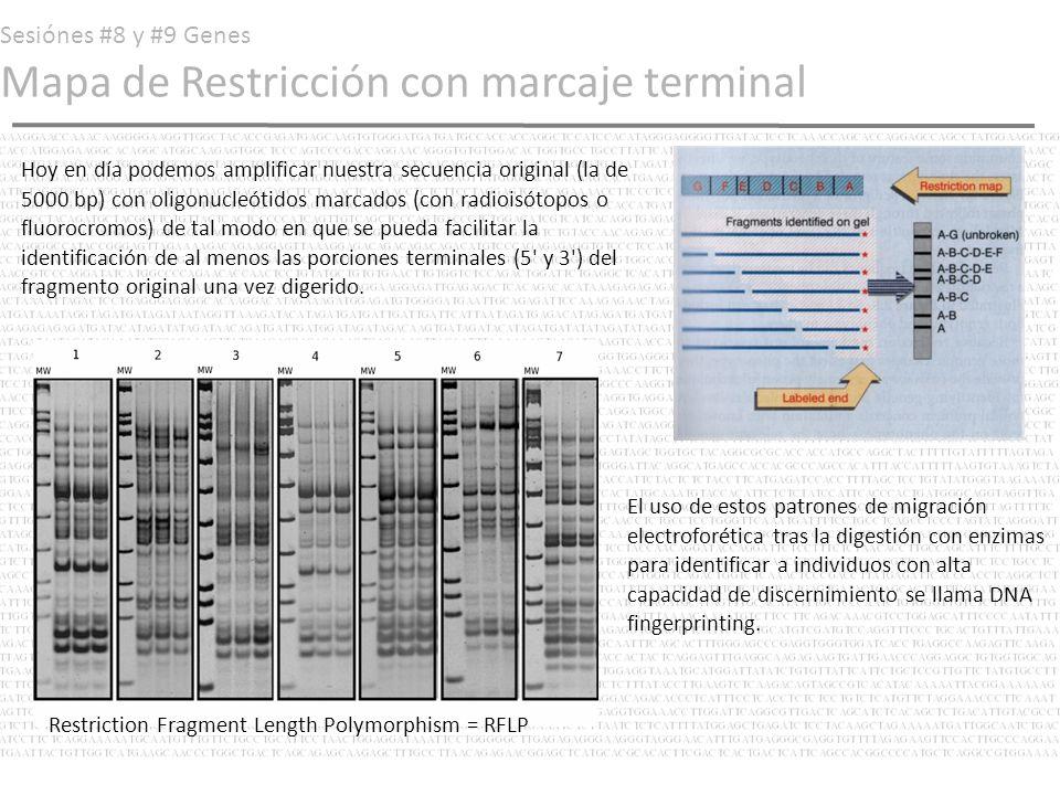 Sesiónes #8 y #9 Genes Mapa de Restricción con marcaje terminal Hoy en día podemos amplificar nuestra secuencia original (la de 5000 bp) con oligonucl